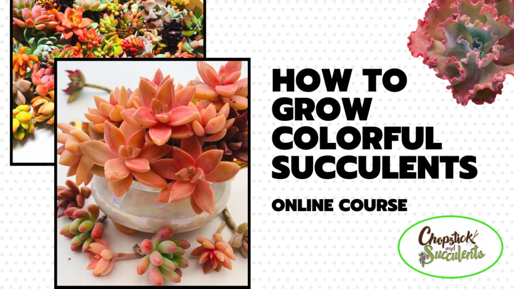 how to grow colorful succulents