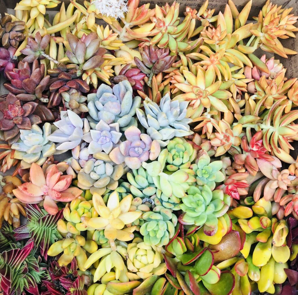 succulent cuttings available at Chopstick And Succulents