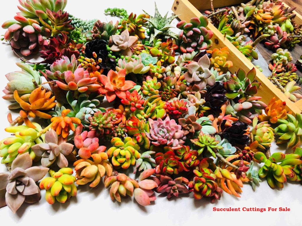 succulent cuttings for sale