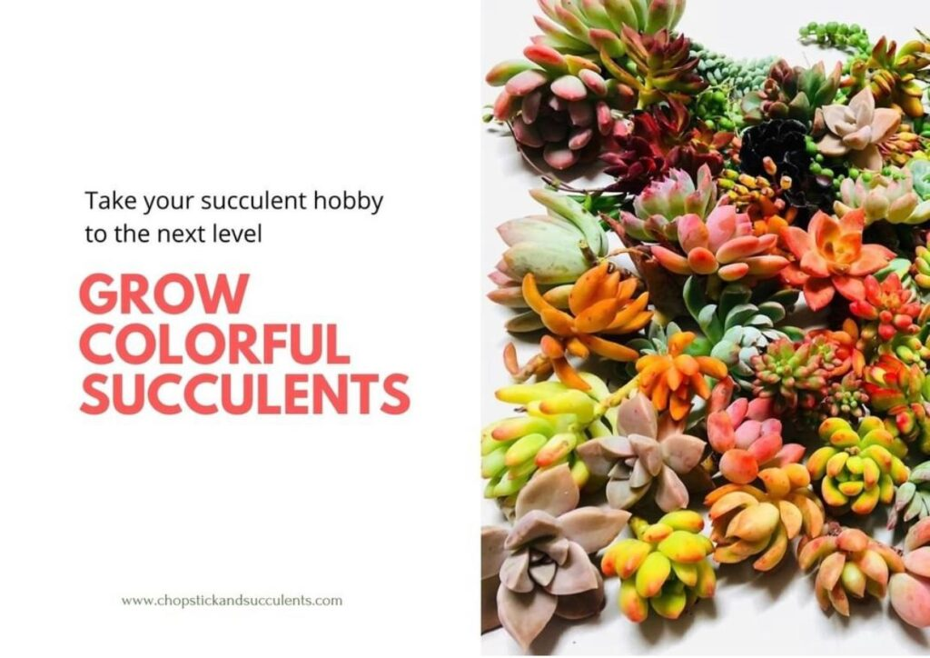 Learn how to grow colorful succulents